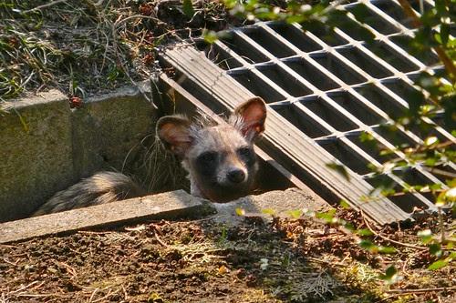タヌキさん Raccoon dog