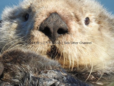 Sea Otter Channel — Remembering Mr.Enchilada the sea otter Today...