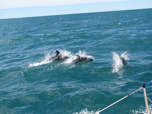 dolphins P. deseado