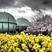 桜と菜の花とガスタンクのドラマチック