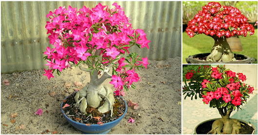 Last chance to win an Adenium bonsai plant free