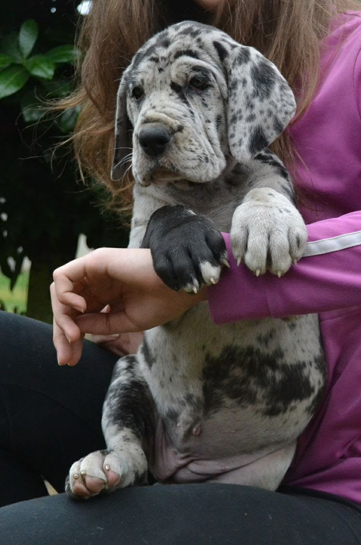 Excellent Great Dane puppy for sale in Vermont