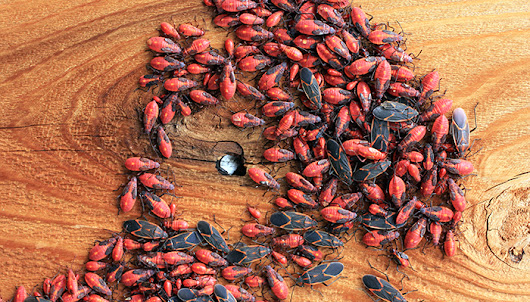 Boxelder Bugs on the Move: Pointe Pest Control