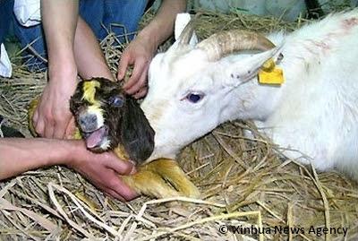 Deze gekloonde geit sterft na 8 uur