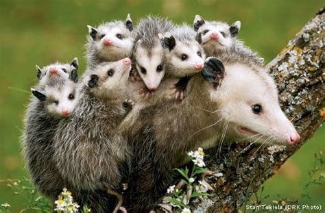 In Memory of 10 Dead Opossums: Checking a Roadkill Opossum Could Save the Babies