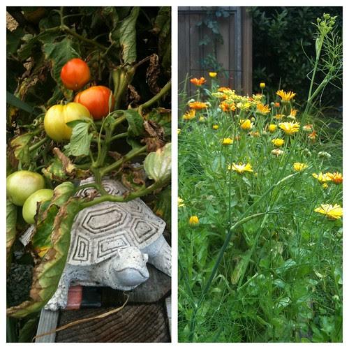 Karin's tomatoes & marigolds