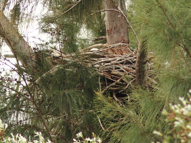 Bald Eagle female incubating 0852 20121221
