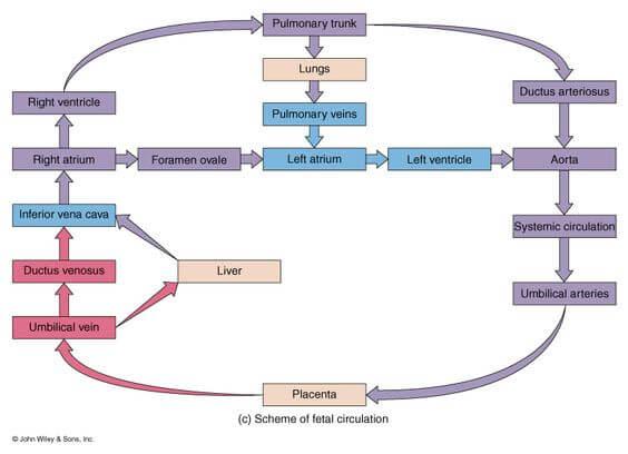 fetal circulation schematic 1