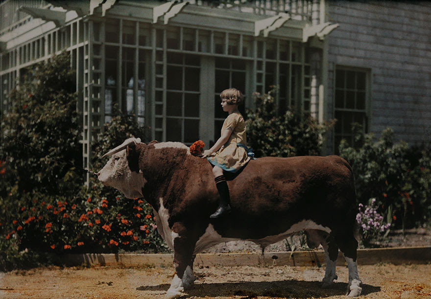 A Child Sitting On A Hereford Bull Near Pleasanton, California, 1926