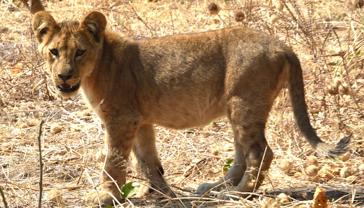 Why did the Lioness with Cubs Cross the Road? - Story at Every Corner