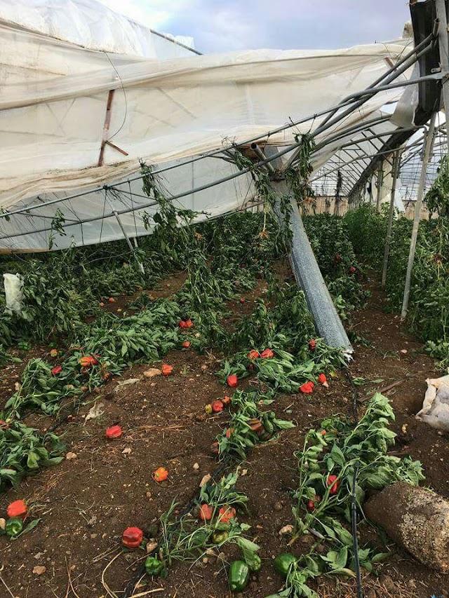 أضرار في المحاصيل الزراعية اثر شدة الرياح في الأغوار الشمالية.