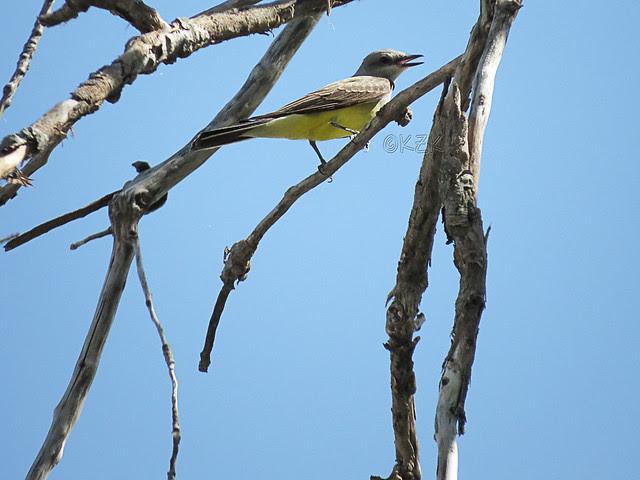 IMG_3282 Western Kingbird
