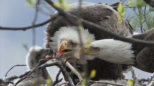 Bald eagles in New Jersey | SciTech Now