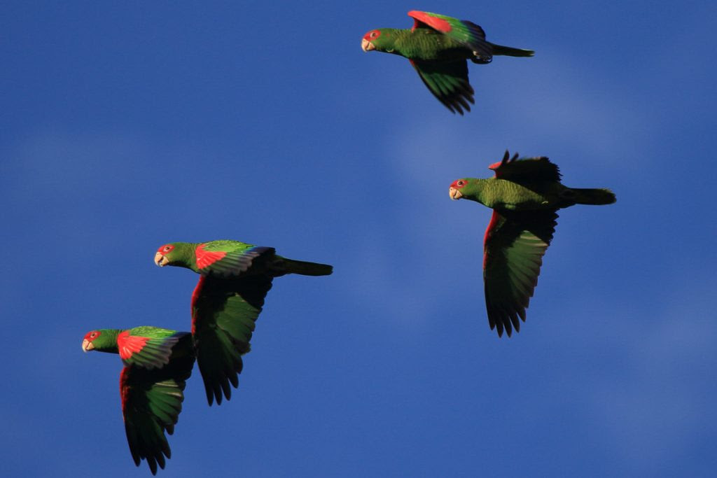 O Papagaio-charão é a grande estrela para os observadores de aves que visitam a região... Foto: Fábio Olmos