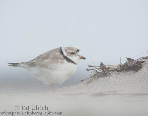 Piping plover in lightly blowing sand in Massachusetts