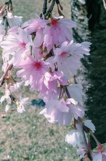 Gambar Bunga Sakura Gugur - Moa Gambar