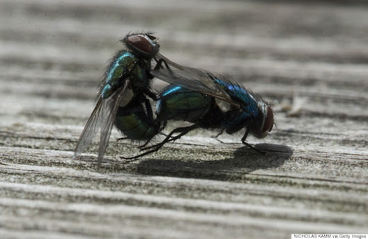 These Flies Are Getting More Action Than You