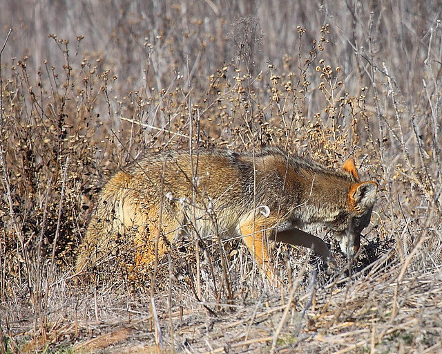 IMG_3845 Coyote, San Luis National Wildlife Refuge