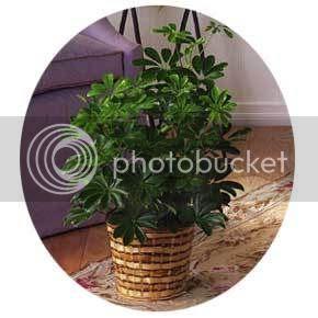 Schefflera Arboricola; 8in pot $37.50 Pictures, Images and Photos