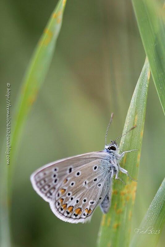 Polyommatus icarus ♀