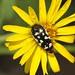 c Acmaeodera amabilis