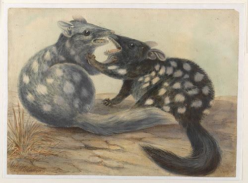 Eastern Quolls - Dasyurus Viverrinus - (Gerard Krefft, c. 1860 - slnsw)