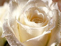 Flower_-_White_Rose_for_You