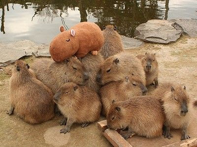 What Should I Feed My Pet Capybara?