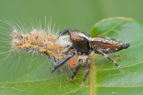 tiny jumping spider with caterpillar prey IMG_1328 copy