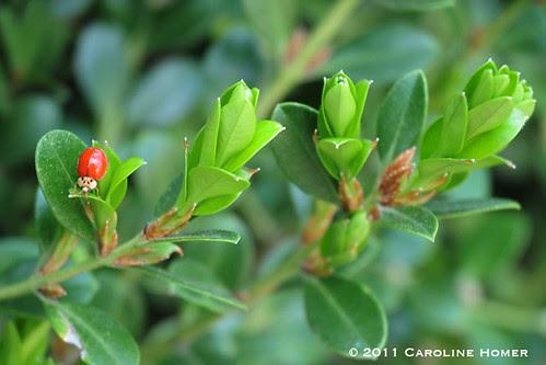 Ladybug on boxwood
