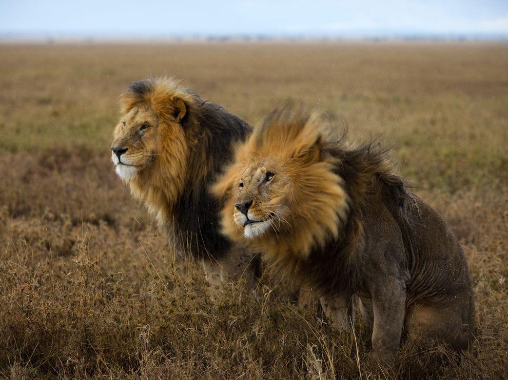 Λιοντάρια στο Σερενγκέτι