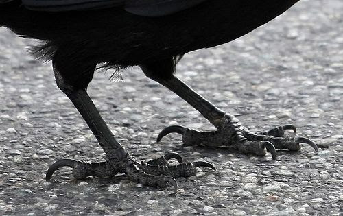 Crows Feet Bird