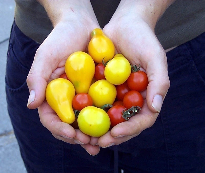 Heirloom Organic Yellow Pear Tomato Garden Seeds Vegetable Seed