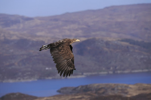 Better late than never for breeding sea eagles | Press and Journal