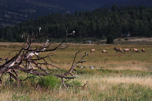Magpies and Elk