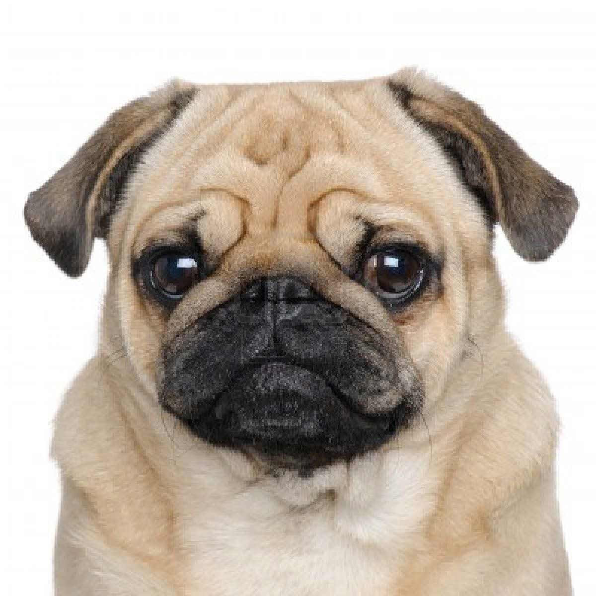 Buy Puppies Pug For Sale In Greece