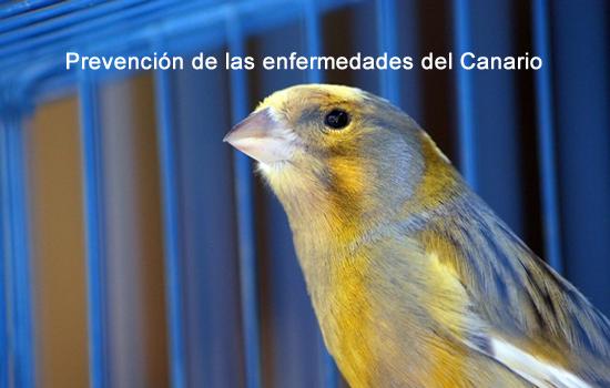 Prevención de las enfermedades del Canario