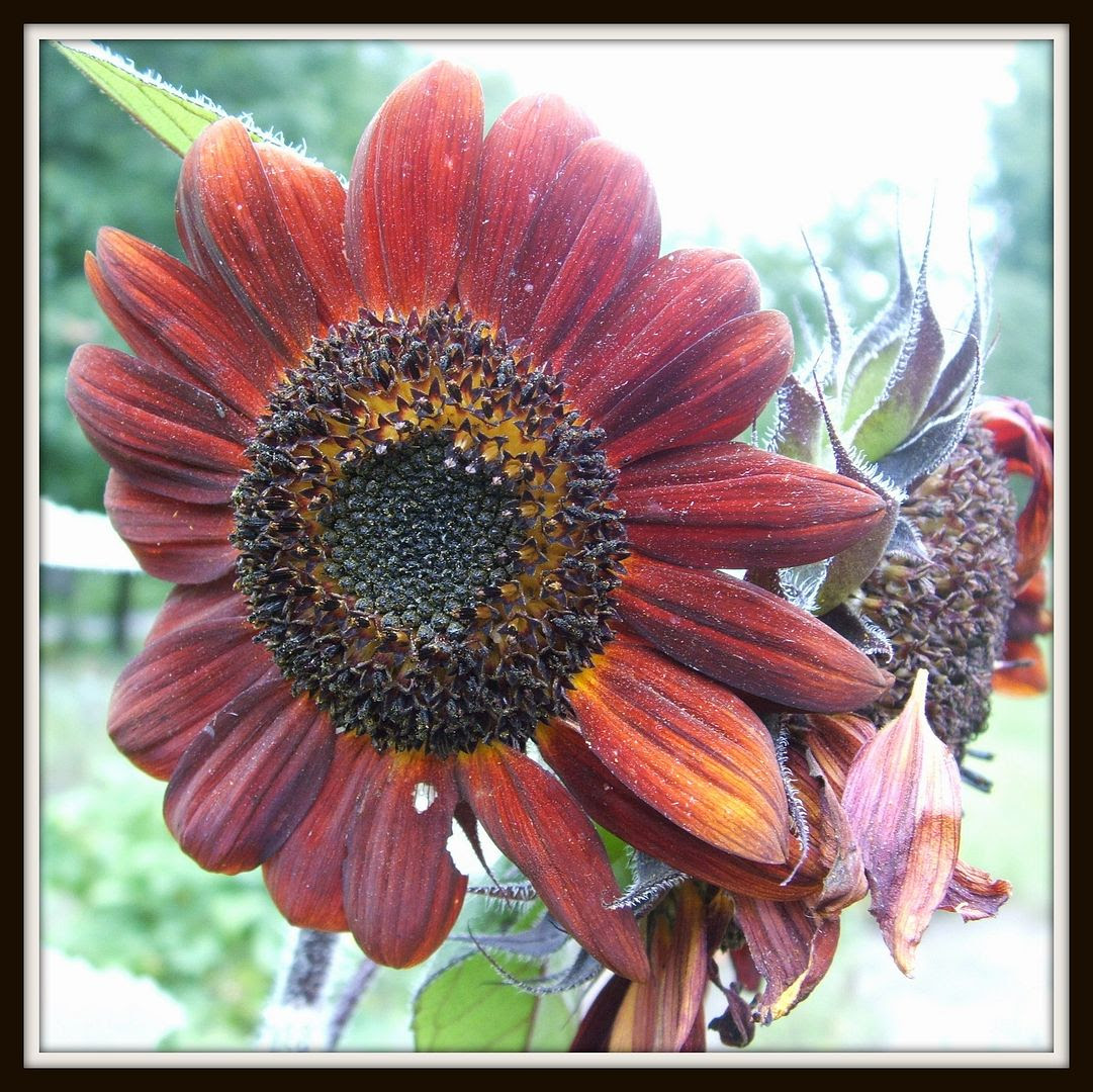 Prado Sunflowers by Angie Ouellette-Tower for godsgrowinggarden.com photo 012_zpsce58a98d.jpg