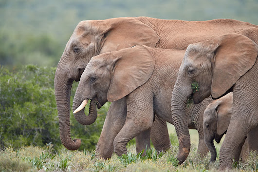 JHP Blog - December 1, 2017 - African Elephant Group, Addo Elephant National Park, South Africa