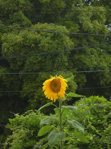 DSCN7003 - Sunflower, June 2013