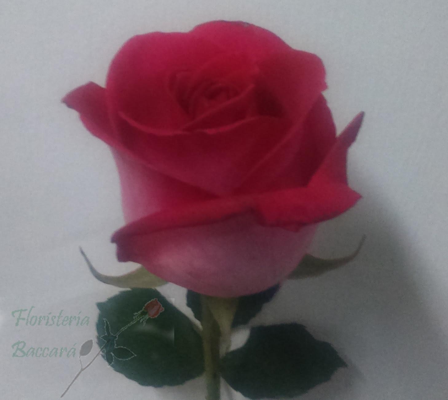 Rosa Floristeria
