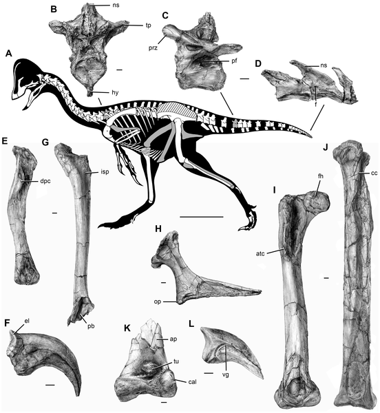 Figure 4 Postcranial skeleton of Anzu wyliei gen. et sp. nov. as preserved in the CM specimens.