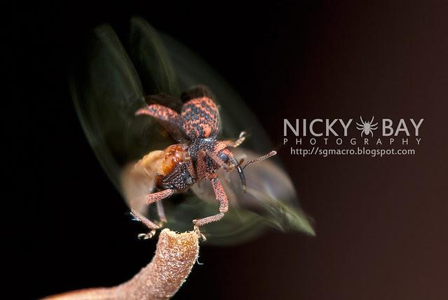 Weevil (Curculionidae) - DSC_2894