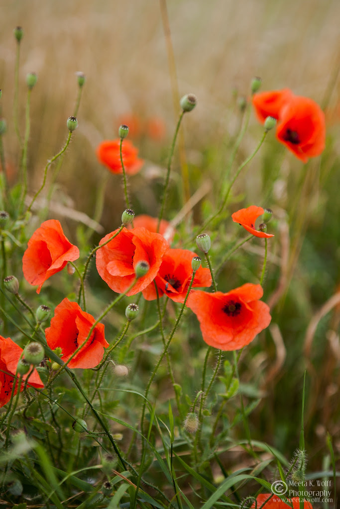 Poppy 2012 (0079) by Meeta K. Wolff
