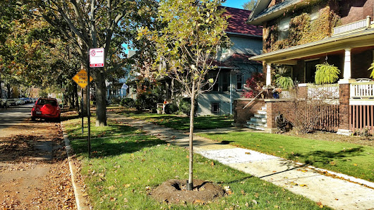 Backyard Front Yard: Edgewater Glen's New Saplings Need a Helping Hand