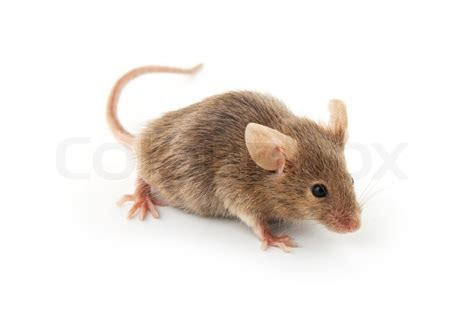 Small mouse isolated on a white background   Stock Photo   Colourbox