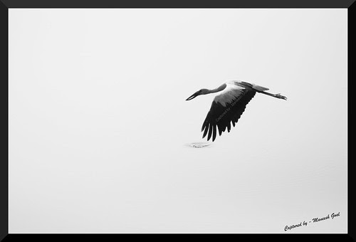 Asian Openbill Stork in flight