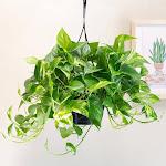 """8"""" Golden Pothos Hanging Basket"""