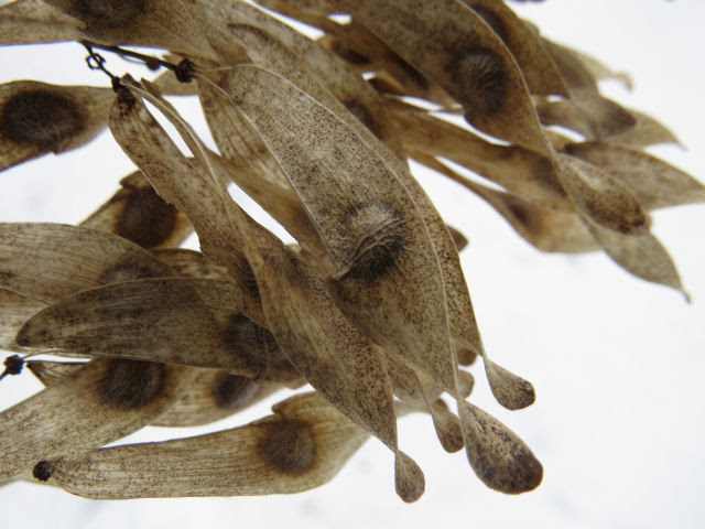 ailanthus seeds