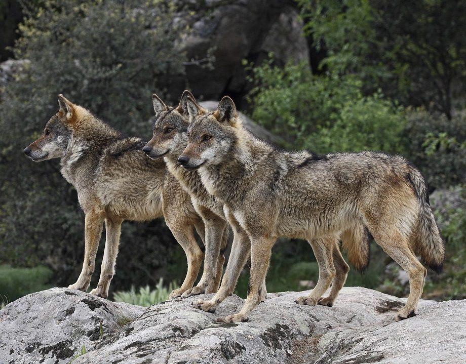 Manada De Lobos Salvajes Imágenes Y Fotos